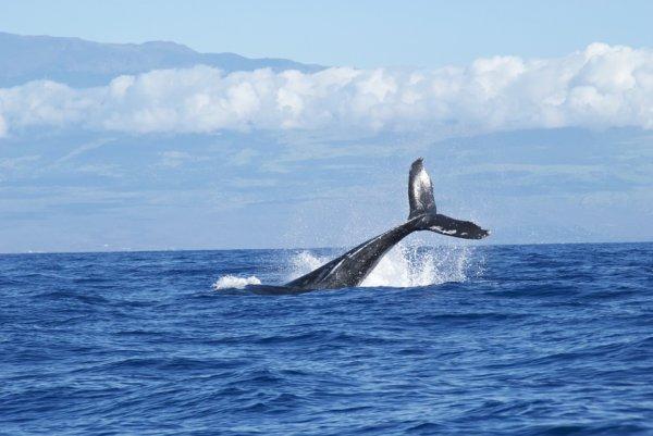 クロアチアのアドリア海、ショルタ島で巨大なクジラが遊泳